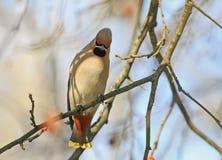 De grappige vogel van de vogelkers met Pappus-zitting op een tak in FO stock foto's