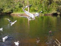De grappige witte meeuwen vliegen over het meer stock foto's
