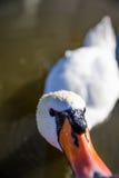 De grappige zwaan proeft lens Stock Afbeelding