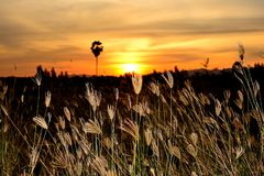 De grasbloem heeft een zwart silhouet van bomen en de zonsondergang royalty-vrije stock foto's