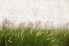 De grasbloem met grijze cementmuur, kan als achtergrond worden gebruikt Stock Foto