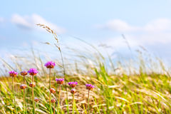 De grassen en de bloemen van het duin in middagzon Stock Afbeelding