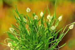 De grassen van Bunnytail (ovatus Lagurus) Royalty-vrije Stock Foto's