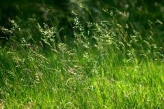 De grassen van de zomer Royalty-vrije Stock Foto