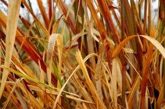 De Grassen van het moeras stock foto