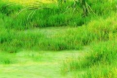 De grassen van het moerasland Stock Foto