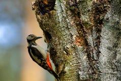 De Greatter bevlekte majoor van spechtdendrocopos bij het nest in de holte stock foto's