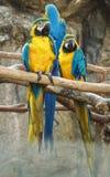 De Greep van de Macorevogel op Tak stock afbeelding
