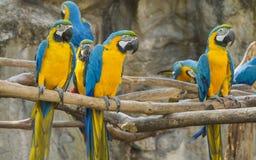 De Greep van de Macorevogel op Tak stock foto's