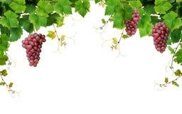 De grens van de wijnstok met wijndruiven Stock Foto