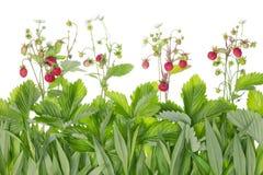 De grens van Strawberry Fields voor altijd Royalty-vrije Stock Fotografie