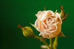 De grensachtergrond van de lente met roze bloesem Bloemen, groene achtergrond Selectieve nadruk Plaats voor tekst Royalty-vrije Stock Fotografie