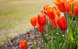 De Grensachtergrond van de lente Oranje Tulpen Stock Foto's