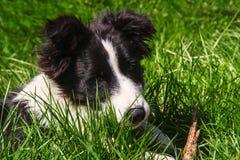 De grenscollie van het puppy Stock Afbeeldingen