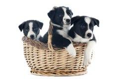 De grenscollies van puppy Stock Afbeeldingen