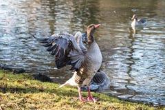De greylag gans, Anser anser is species van grote gans stock fotografie