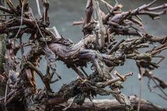 De griezelige windende hobbelige oude tak van de wijnboom Stock Fotografie