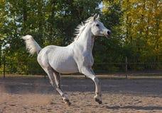 De grijze Arabische galop van de paardlooppas in het landbouwbedrijf Royalty-vrije Stock Fotografie