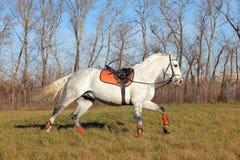 De grijze Arabische galop van de paardlooppas in het landbouwbedrijf Stock Foto's