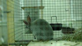 De grijze chinchilla van het konijnras in een kooi stock videobeelden