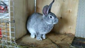 De grijze chinchilla van het konijnras in een kooi stock video
