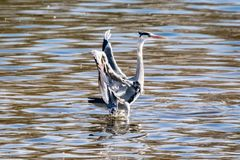 De grijze cinerea wilde vogel die van reigerardea in land op water komen royalty-vrije stock afbeeldingen