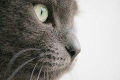 De grijze dichte omhooggaande foto van het kattenportret stock fotografie
