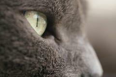 De grijze dichte omhooggaande foto van het kattenportret stock afbeelding