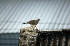 De grijze duiven zijn op het dak van de tegel stock foto