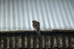De grijze duiven zijn op het dak van de tegel royalty-vrije stock fotografie