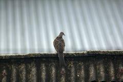 De grijze duiven zijn op het dak van de tegel stock fotografie