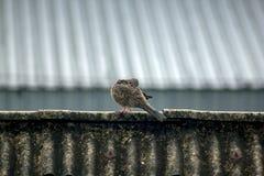 De grijze duiven zijn op het dak van de tegel stock afbeelding