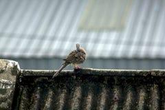 De grijze duiven zijn op het dak van de tegel stock foto's