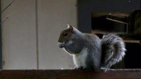 De grijze eekhoorn zit bij omheining het kauwen op voedsel stock videobeelden