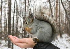 De grijze eekhoorn zit op de menselijke hand van ` s en knaagt aan noten Stock Fotografie