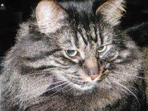 De grijze en zwarte kat van gestreepte katmaine coon Royalty-vrije Stock Afbeeldingen