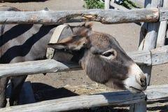 De grijze ezel kijkt uit van achter de omheining en de glimlach royalty-vrije stock foto's