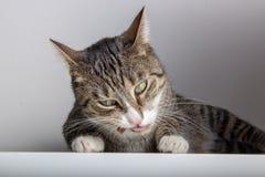 De grijze gestreepte kat geniet van een snack royalty-vrije stock afbeelding