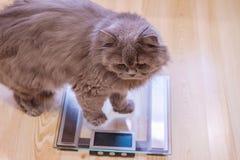 De grijze grote langharige Britse kat zit dichtbij de schalen De aanwinst van het conceptengewicht tijdens de Nieuwjaarvakantie,  stock afbeelding
