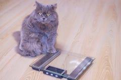 De grijze grote langharige Britse kat zit dichtbij de schalen en ziet omhoog eruit De aanwinst van het conceptengewicht tijdens d stock fotografie