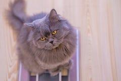 De grijze grote langharige Britse kat zit op de schalen en ziet omhoog eruit De aanwinst van het conceptengewicht tijdens de Nieu royalty-vrije stock fotografie