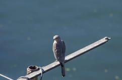 De grijze havik een vogel van familie van havik zit en ziet eruit Royalty-vrije Stock Foto's