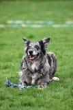 De grijze hond van de Australisch-herder-Mengeling stock afbeeldingen
