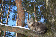 De grijze kat Stock Afbeeldingen