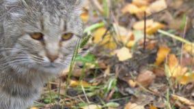 De grijze kat draait zijn hoofd stock video