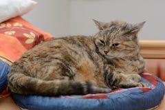 De grijze kat is in het kattenbed Royalty-vrije Stock Foto
