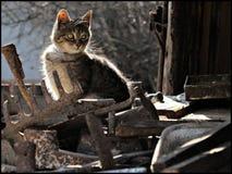 De grijze kat jacht Stock Afbeeldingen