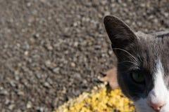 De grijze kat kijkt op de weg royalty-vrije stock afbeelding