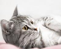 De grijze kat luistert Stock Foto's