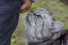 De grijze kat van de Britse of Schotse kat van rassenrassen snuift de hand van een kind stock afbeelding